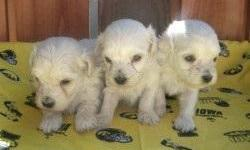 The Malti Poo can get along well with dogs and other pets if socialized when young, but it is somewhat territorial. Malti Poos may be wary of strangers and are highly protective of their family. Malti Poos get along very well with children, but should be