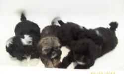 Small non shed 9 week old black and white puppies. Will be about 7 pounds when grown. Comes with first shots and a health guarantee. Also have one tinny female that will weigh about 5 pounds when grown. ($250.00) Contact Forrest at 931 670-5931 Read more: