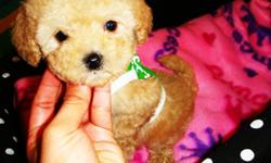 Maltipoo's, fluffy tiny puppies. Very sweet, great personalities­?­­­­­, stunning happy puppies. Love to cuddle and play. Have good temperament and great disposition. Current in their vaccinations?­­­­­, ­de-wormings­­­­­, and health guarantee. These pups