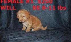 WE HAVE MALTIPOO PUPPIES THEY HAVE FIRST SHOTS AND DEWORMED READY TO GO CALL FOR MORE INFO AT 602 487 3865