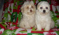 MaltiPoo puppies ready for a new home! These adorable and playful pups are 9 weeks old and will make a perfect companion for any family - especially with kids! Non-shed, 1st series shots and deworm complete. Male available, ($275). Please contact --