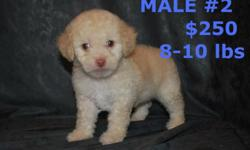 we have the last male maltipoo he is ready to go and have first shots and dewormed call at 602 487 3865