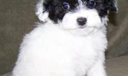 1 Male MaltiPoo (Maltese/Toy Poodle) 10-12-12. UTD on shots, vet checked, and comes with a health warranty and health certificate. ** Shipping Available ** Credit Cards Accepted (Visa/MasterCard, Discover) ** 90 Days Same as Cash No Financing Available