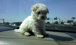 Maltipoo tiny and tcup pups males and females $250 and $300 shots and dewormed     For more information text or call --