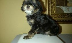Maltipoo tiny and tcup pups $250 and $300 shots and dewormed   for more information text --