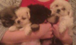 I have maltizu Puppys born Oct 1, 2012ready now sweet pups non shedding and good with kids if.interested please email me or call and leave message