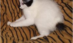 Ages: 9weeks Color: Harlequin white w black markings Shipping: Available 2 vaccines , wormed , weaned , litter trained , here she is THE HARLEQUIN manx kitten .CUTE little love PURRbunny . is short haired all snow white with blackbeauty marks on her NOSE