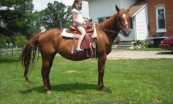 1) APHA mare with chocolate colt 15'3hh 10yrs old, intermidiate rider. $1500 OR $1200 without colt. sorrel red with white face markings amd cornet (colt: star and snip markings) PICTURED 2) grade paint mare with unborn foal 15hhs 8yrs old kid safe. $1500