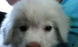 Female white puffball, but she will grow to be your LGD. This breed will protect anything. Will come health certified and nice puppy pac.  email at bullwrinkles2@aol.com 561 478-6497