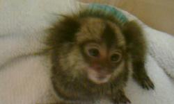 Amazing affordable Marmoset Baby Monkey !!! Please contact 954-394-0100 for more info. Were located at 1682 E Oakland Park Blvd, Fort Lauderdale, 33334, FL
