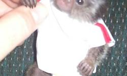 I have a 7 week old little baby boy White Tufted Marmoset Monkey for sale. These are NOT pets. They need to be treated like a family member and are a 20 year commitment. They are just like a child. If you have lots of time and can give this little guy