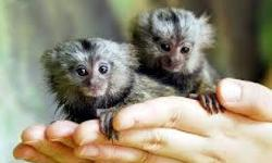 They are well home and potty trained marmosets and have been raised with nothing but love.they have a great temperament and are also very sociable,good with kids and other home pets.these babies will make a perfect addition to your home.they are current