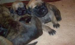 We have a new litter of pups. Pups are 2 weeks at this time. We are now accepting deposits for pups at this time. We have fawn and brindle pups. Pups have an excellent pedigree. Pups will come with first shots and wormings. Will be vet checked and come