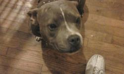 MEET ATHENA Beautiful little girl.Blue Brindle. Has a white chest and white line down her face. bighead Ukc Registered Not fixed Never been bred She comes with crate and papers Absolutely amazing with my two sons. No other pets around her does not like