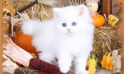 Sarina is a Cashmere White female Persian and is ready for her new home at any time. She is of course current on all of her vaccinations and comes with a 1 year full written health guarantee. She is one of the sweetest kittens I have ever seen! FYI - We