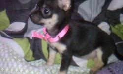 Minnie is a micro Chihuahua the weighs about 2lbs. She is full grown she is black & tan very loving looking for her forever home price can be discussed just call after 2pm Thank you,