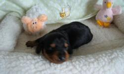 CKC Reg. Mini Dachshunds: 9 weeks old. 1 Black & Brindle female - smooth coat 500.00 and 1 Brindle and Tan Piebald male - smooth coat. 400.00. Parents on site , pups are well socialized. 2 year health contract, vet checked and are current on shots and