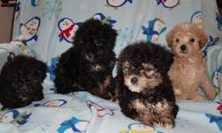 three male poodle nine week old shots and de worm have the mother and dad --jane