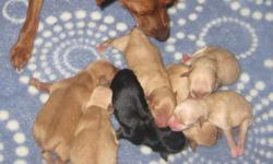 Min Pin's born 10/17/10 Call to reserve today w/ deposit Mother is fawn in color dad is black/brown in color. Only Fawn color left