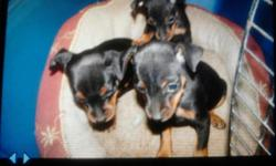 2 boys 1 female Born Sept 16th, 2012 $250 for a male $350 for female dora in the photo is mother