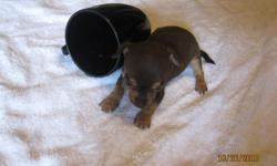 7 wk. old tiny tiny ckc reg. chihuahua puppies for sale. one Chocolate female, two white males, and one black and tan. Never been outside and have been raised with children.