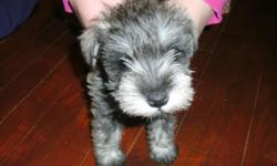 I have two AKC Minature Schnauzer puppies they have been vet checked up to date on worming and shots both are female they were born 12-5-10