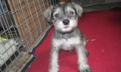I have a litter of MINATURE SCHNAUZERpuppies that are ready for their new homes. They have had their first set of shots , regular worming and are CKC Registered. There is 1 salt-n-pepper female and 3 WHITE males. The puppies are