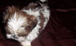 Chinese Imperial Shihtzu Male Puppy Ming Yue Pick of the Litter $750.00 .  if ad is up puppy is still available...... 11.5 weeks old wt 27 oz charting to be 4 lbs as an adult Mother is 5 lbs Father is 4 lbs UTD with Shots/D-wormed ,