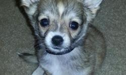 Male mini-chihuahua born 10/1/12 for sale. Very loveable but cannot keep due to son's allergies. Will include all supplies, crate, and 1 yr Petmax Health Protection. Will transfer papers when they are received. Price is somewhat negotiable. Only serious