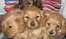7wks old pups ,3 females-1male, females will be blonde,male will red, sire and dam are our pets and are very friendly and obiedient..the pups are paper trained and are eating solid food..