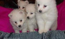 Mini American Eskimo Puppies 6 weeks old ready to find their new mommy's and daddy's they are the perfect dog for a apartment they luv children and make the best family dogs for more info please call 512-638-6064 or 512-200-5201 Thank You and GOD