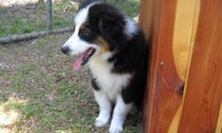 MINI MALE BLACK TRI AUSSIE. DAD IS A CAMPION. 3/4 WHITE COLLAR, NICE BLAZE AND COPPER POINTS. DAD IS A BLUE MERLE AND MOM IS A BLACK TRI. BORN ON MARCH 9, 2011. GOOD TEMPERMENT AND DISPOSITION. STRONG BIG BONE, GREAT BITE AND EARSET.GREA WITH OTHER PETS
