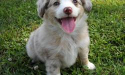 RED MERLE FEMALE AUSSIE. SHE'S VERY PRETTY, SWEET, AND LOVING. I AM A HOBBY BREEDER. PUPPY IS RAISED IN MY HOME WITH THE MOM AND WILL BE WELL SOCIALIZED AND PEE PAD TRAINED. THIS IS A HIGHLY INTELLIAGENT BREED AND EASY TO TRAIN, VERY LOYAL, AND LOVING.