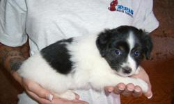 Mini Australian Shepherd Puppies. 7 weeks, 1st shots and worming. Black tri females and black and white male. $300. .