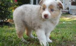 FEMALE RED MERLE AUSSIE. REG ASDR. BORN ON 4/27/11. BEAUTIFUL MARKINGS, STRONG BONE, GREAT EARSET AND BITE. MOM IS A RED TRI 14 INCHES TALL, 5 GENERATIONS AND DAD IS 15 IN RED MERLE. I HAVE PEDIGREES ON BOTH PARENTS. THIS IS A HIGHLY INTELLIAGENT, EASY TO
