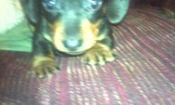 Born 12/11/10 - Ready 1/22/11 Male - Chocolate & Tan CKC Registered, with papers First Round of Shots (5 in 1 shot) $200 Located in London, KY Contact: Angie 606-344-8596 or angie_tyree78@yahoo.com