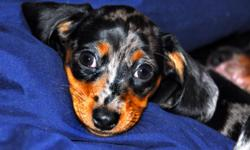 Beautiful female mini-dachshund. Kara is 9.5 weeks old and ready for her forever home. Her father is an AKC registered mini black and tan and her mother is a mini black and tan dapple (aka silver dapple). Kara was born Sept 22 and has been raised in our