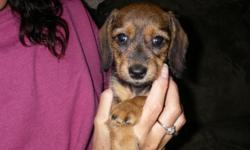 I have a very adorable male Mini Dachshund puppy available. He is s red shaded smooth haired, 8 weeks old. Has his 1st shots and has been dewormed. Price $400 cash only. Call or text 414-722-7617 or email.