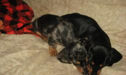 i have 1 female , 8 weeks old. she is a black and tan .