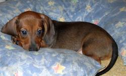 Mini Dachshund Pup Last of Litter Price Reduced! 1 Male Red, Short Hair Vet Checked, First Shots, De-wormed Potty Pad Trained Kept in the home with Family Sire & Dam in Home as well Excellent with Kids & Cat Very Cute & Great Temperament Eager to go to