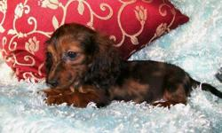 1 Female Mini Dachshund born on 6-20-11. UTD on shots and comes with a health warranty. *?* Credit Cards Accepted (Visa/MasterCard?????) ** No Credit Check Financing Available (Please Inquire) ** Shipping Available ** Microchipped? ** ACA Registered For