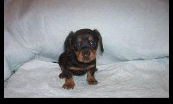 2 Female black/tan short hair pups come with warranty,shots and vet checked. www.Iapups4u.com for pictures and other information. Call: 641-844-8855