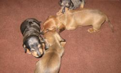 mini dachshund pups for sale born dec.12th. now taking deposits to hold till they receive their health certificates feb 7TH.both parents on site.ONLY MALES LEFT. 2 red and 2 silver dapple. contact number 561-688-3695 or 561-688-3695.