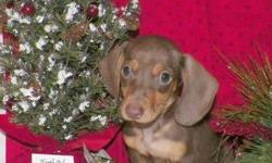 includes shipping and microchipping to ny.shots 1 yr health guarentee. www.akcdachshundny.com lady litter all chocolate and tans 1 for 650 with over bite. 1 1000$