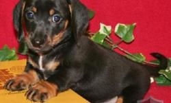 Five weeks old, full blooded. 4 long hair, 1 short hair. Male and Female. Tri-colored (black, tan and and just a tad of white. Wormed. Very loveable and good with children. Tullahoma
