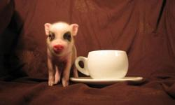 Wouldn?t you like an intelligent, snuggly little companion for a pet? Little Pet Pigs has a new litter of micro mini piglets available. These are smaller than teacup pigs. Visit our website for more information: www.littlepetpigs.com We have several