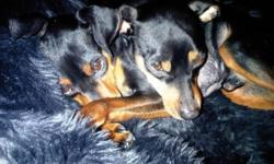 2 male mini pinchers in need of a good home sold as a pair neutered and vaccines up to date Black and tan with natural ears on both one has tall duct other has natural tail ages 4 and 5 they have been raised together and get along very well so they will