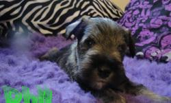 I have two pedigreed Minature Schnauzers that I only breed every few years when I have a list of waiting adopters. However, during my recent move the dogs pulled a fast one on me and I find myself with a unexpected little! The pups are registered and come
