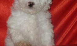 Toy Poodle, Male, Small, $375.00 Firm