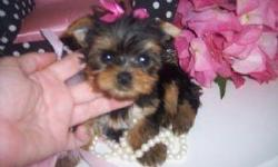 I have stunning pedigree Miniature Yorkshire Terriers for sale. They have wonderful temperaments and have been socialised with children and other puppies from different litters. Our puppies come with a Veterinary Health Certificate and First Vaccination.